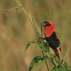 Southern Red Bishop (Euplectes orix) Queen Elizabeth NP, Uganda