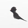Long-tailed Widowbird (Euplectes progne) near Devon, Gauteng, South Africa