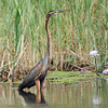 Purple Heron (Ardea purpurea) Xaro Lodge, Okavongo River, Botswana