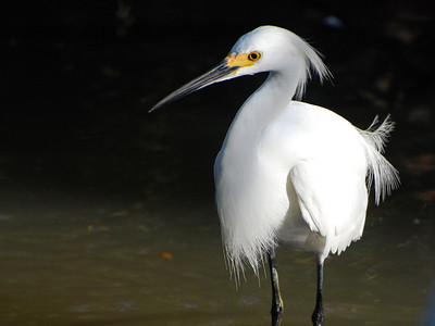 Bitterns, Egrets and Herons
