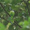 African Green Broadbill (Pseudocalyptomena graueri) Bwindi Impenetrable Forest, Uganda