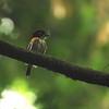 Rufous-sided Broadbill (Smithornis rufolateralis) Nsutu Forest, Ghana