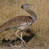 Kori Bustard (Ardeotis kori) Etosha NP, Namibia