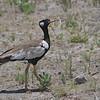 Northern Black Korhaan (Eupodotis afraoides) Etosha NP, Namibia