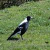 Australian Magpie (Gymnorhina tibicen) Deniliquin, New South Wales, Australia