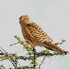 Greater Kestrel (Falco rupicoloides) Etosha NP, Namibia