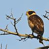Laughing Falcon (Herpetotheres cachinnans) Danli, Honduras