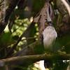 Slaty-backed Forest-Falcon (Micrastur mirandollei) Cristalino Lodge, Alta Floresta, Mato Grosso, Brazil