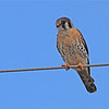 American Kestrel (Falco sparverius) Bismarck ND