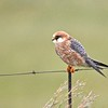 Red-footed Falcon (Falco vespertinus) near Devon, Gauteng, South Africa