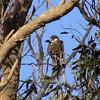 Eleonora's Falcon (Falco eleonorae) Essaouiria, Morocco
