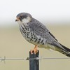 Amur Falcon (Falco amurensis) near Devon, Gauteng, South Africa
