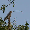 Banded Kestrel (Falco zoniventris) Ankarafantsika