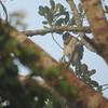 Buckley's Forest Falcon (Micrastur buckleyi) Tingana Reserve, Moyobamba, Peru