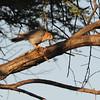 Red-necked Falcon (Falco chiquiera) Etosha NP, Namibia