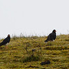 Mountain Caracara (Phalcoboenus megalopterus) Black Mud Pass near Leymebamba, Amazonas. Peru