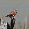 Eurasian Kestrel (Falco tinnunculus) Coto Donana, Spain