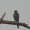 Gray Kestrel (Falco ardosiaceus) Murchison Falls NP, Uganda