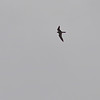 Sooty Falcon (Falco concolor) Berenty, Madagascar