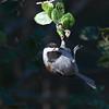Chestnut-backed Chickadee (Poecile rufescens) Windy Hill Open Space Preserve, San Mateo Co.,  CA