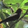 White-winged Tit (Parus leucomelus) Mgahinga Gorilla Reserve, Uganda