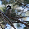 Mexican Chickadee ((Poecile sclateri) Chiricuhua Mountains, AZ