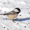 Black-capped Chickadee (Poecile atricapillus) St. Louis County, MN