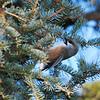 Boreal Chickadee (Poecile hudsonica) Riding Mountain NP, Manitoba, Canada