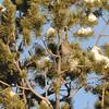 Juniper Titmouse (Baeolophus ridgwayi) Hillsboro NM