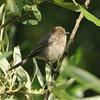 Bushtit (Psaltriparus minimus) Newport Backbay, CA