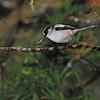 Long-tailed Tit (Aegithalos caudatus) Kyushu, Japan