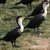 Great Cormorant (Phalocrocorax carbo) Queen Elizabeth NP, Uganda