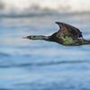 Pelagic Cormorant (Phalacrocorax pelagicus) La Jolla, CA