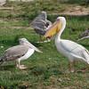 Great White Pelican (Pelecanus olocrotalus) and Pink-backed Pelican (Pelecanus rufescens) Queen Elizaeth NP, Uganda