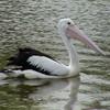Australian Pelican (Pelecanus conspicullatus) Deniliquin, New South Wales, Australia
