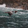 Red-legged Cormorant (Phalacrocorax gaimardi) Pucasana, Peru