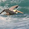 Brown Pelican (Pelecanus occidentalis) La Jolla, CA