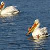 American White Pelican (Pelecanus erythrorhyncos) Long Lake NWR, ND