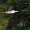 Pink-backed Pelican (Pelecanus rufescens) Kisoro, Uganda