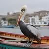 Peruvian Pelican (Pelecanus thagus) Pucasana, Peru