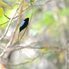Long-tailed Manakin (Chiroxiphia linearis Las Baulas NP, Guanacaste, Costa Rica