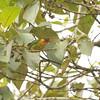 Scarlet-breasted Fruiteater (Pipreola frontalis) Affluente, Peru
