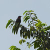 Purple-throated Fruit-Crow (Querula purpurata) Pipeline Road Discovery Center, Gamboa Panama