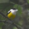 White-collared Manikin (Manacus candei) Rio Platano Reserve, La Moskitia, Olancho, Honduras