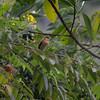 Cinereous Becard (Pachyramphus rufus) ProAves Eldorado Reserva, Magdalena, Columbia