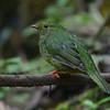 Green-and-black Fruiteater (Pipreola riefferii) Reserva Hidrográfica, Forestal y Parque Ecológico de Río Blanco, Manizales, Caldas, Columbia