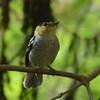 Barred Becard (Pachyramphus versicolor) Reserva Hidrográfica, Forestal y Parque Ecológico de Río Blanco, Manizales, Caldas, Columbia