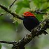 Red-capped Manakin (Ceratopipra mentalis) La Selva OTS Reserve, Heredia, Costa Rica