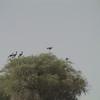 Black Crowned-Crane (Balearica pavonina) Waza NP, Cameroon