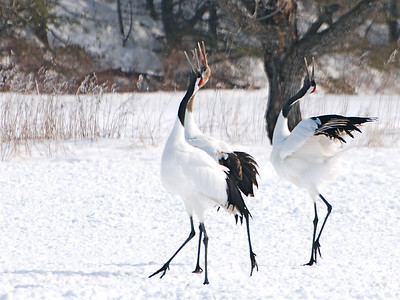 Cranes and Trumpeters
